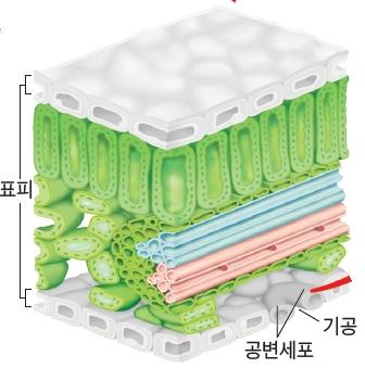 식물 조직 이미지(명칭: 표피, 공변세포, 기공)