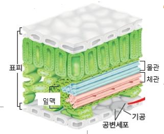 식물 조직 이미지(명칭: 표피, 공변세포, 기공 [추가] 물관, 체관, 잎맥)