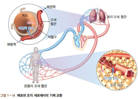 폐포와 조직 세포에서의 기체 교환되는 과정 이미지(온몸의 모세 혈관, 폐의 모세 혈관, 폐동맥과 폐정맥 사이에 이산화 탄소(아래)와 산소(위) 순환 과정